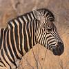 Zebra / Equus burchelli