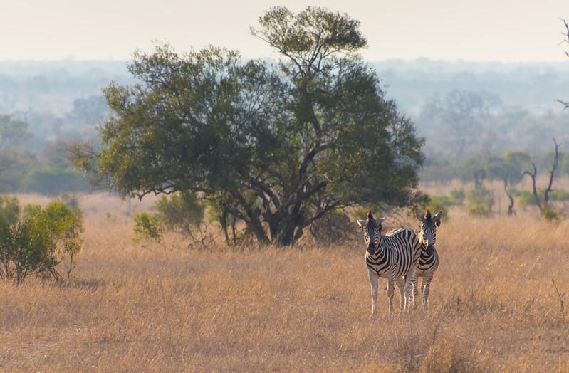Zebras / Equus burchelli