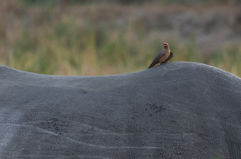 Red-Billed Oxpecker / Buphagus erythrorhynchus
