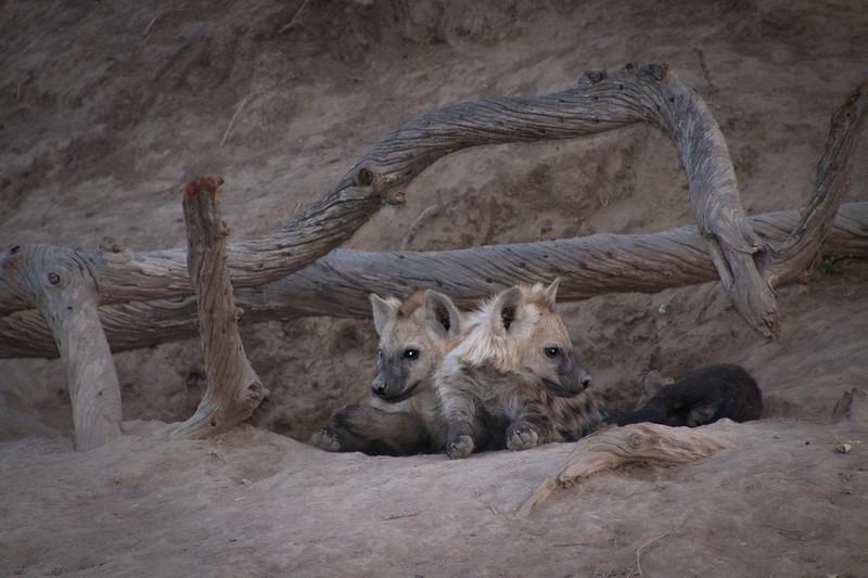 Spotted Hyena Cubs / Crocuta crocuta