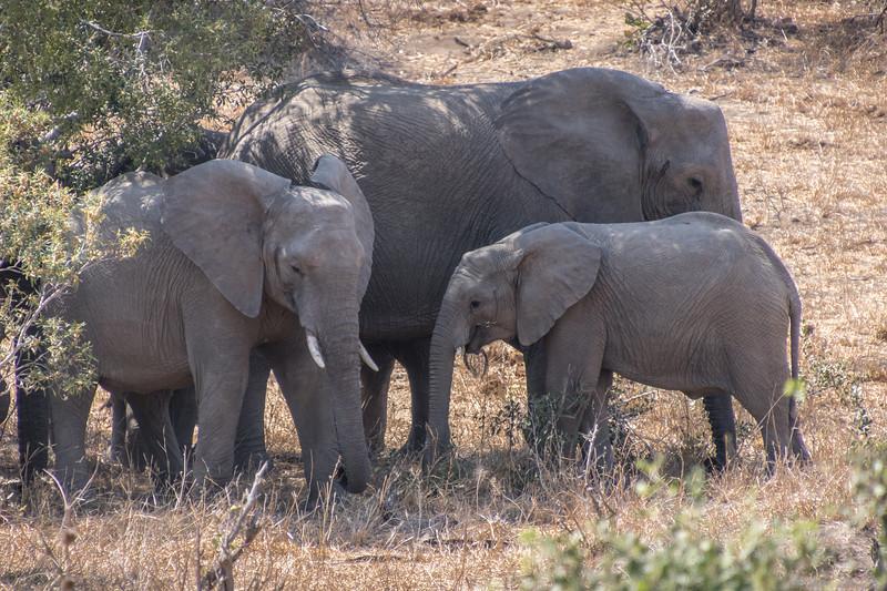 Elephants / Loxodonta africana
