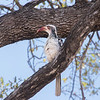 Red-Billed Hornbill / Tockus rufirostris