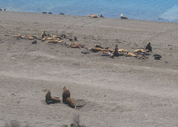 Sea Lions, Peninsula Valdes, Argentina