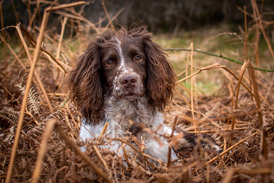 Springer Spaniel in Bracken