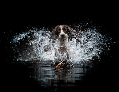 Dramatic Spaniel in Water