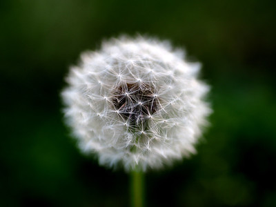 The Lonely Dandelion