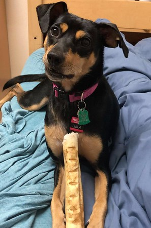 Leila, one of the ESAs who live on campus. She is a young, spunky Miniature Pinscher/ Jack Russell Terrier mix who brings joy to her owner and other students on campus.