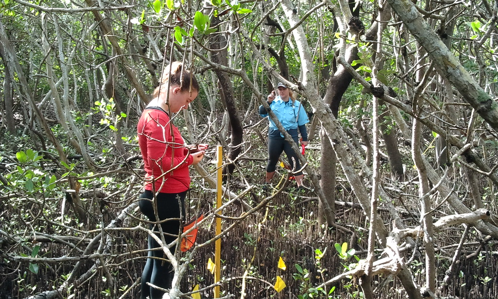 Students takes measurements in the mangroves on Tidy Island. New College has received a grant from the U.S. Environmental Protection Agency to identify the best methods for restoring the island's mangrove habitat.