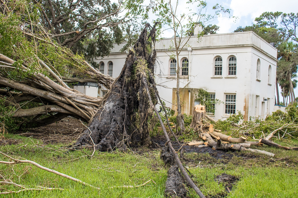 A large tree behind Robertson Hall was uprooted by Hurricane Irma. The campus sustained significant damage from the storm.