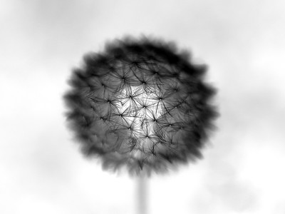 The Introverted Dandelion