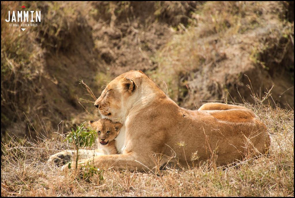 Lions in the Masai Maara