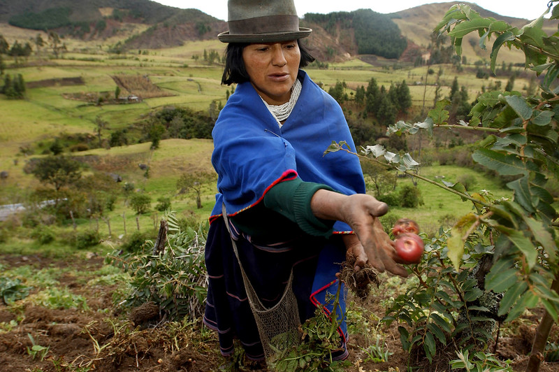 Ana Julia Velasco, a Guambiano Indian, harvest potatoes, in the mountains outside Silvia, Cauca Province, Colombia, Monday, Aug. 25, 2003.  Silvia is the center of the Guambiano Indian culture. The Guambiano Indians, who number about 18,000 and who have retained their own traditions and language, traditionally grow fruits and vegetables and farm trout. Since 1989, for economic reasons, some Guambiano Indians have started to grow small plots of poppy flowers that are used in the production of heroin. The town Silvia, which has a population of 5000, is controlled by the government while surrounding mountains are held by the Marxist guerrilla group the Revolutionary Armed Forces of Colombia ( FARC).  Photo by: Ann Johansson.