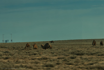 Camels wondering through this high desert with a rocket launch pad in the distance.