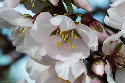 The white blossoming trees produce sweet almonds. The pink ones are bitter.