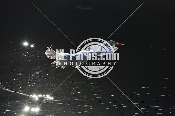 Snowy egret takeoff 2/3