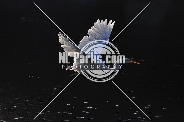 Snowy egret takeoff 3/3