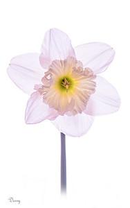 Translucent Daffodil