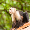 A Capuchin Monkey sits on the roof in Tortuguero National Park.