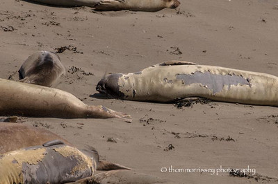 In a wicked witch voice one elephant seal said to the other 'I'm molting!'