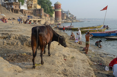 Cow on the Ganges Beach