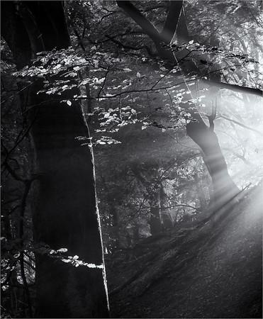 Sunlight Through The Beech Trees Monochrome