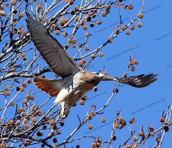 Juniper Hawk