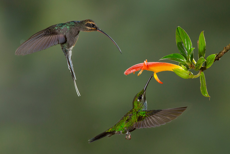 Green Hermit female(Phaethornis guy) + Green-crowned Brilliant female (- Bosque de Paz