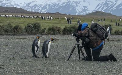 Curious King Penguins