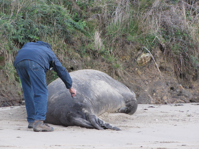 J marking an Elephant Seal