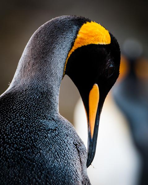 King Penguin,  Salisbury Beach, South Georgia Island,  November 2013