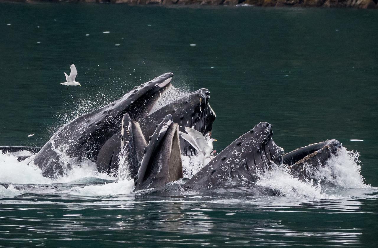 Humpbacks bubble net feeding, Resurrection Bay AK  June 2017