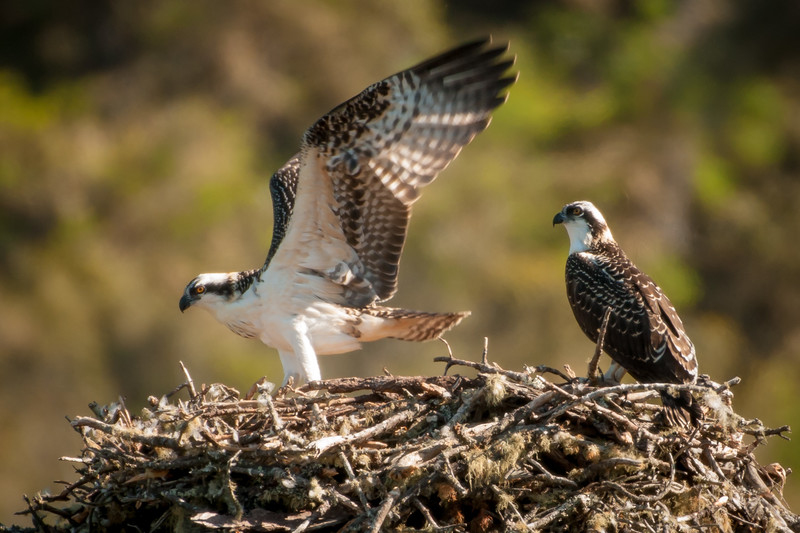 Fledgling Ospreys, Inverness Ridge, CA  June 2016