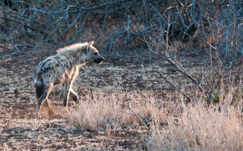 Spotted Hyena, Kruger National Park, South Africa  November 2010