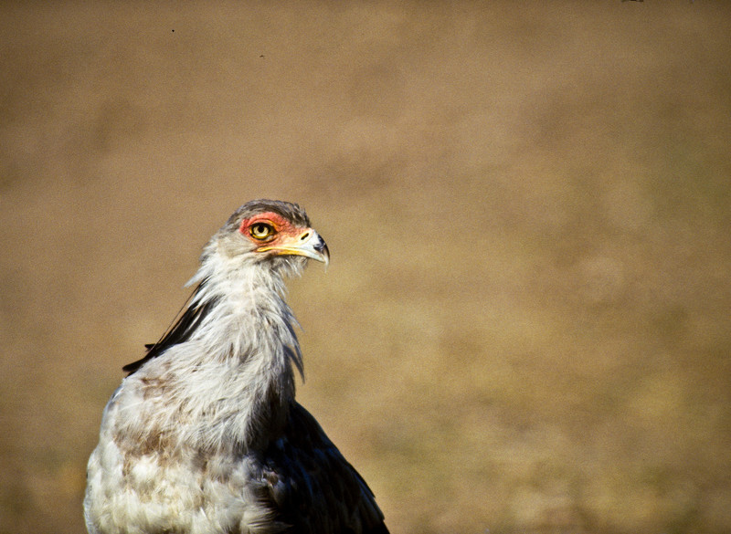 Secretarybird, Masai Mara, Kenya  August 1997