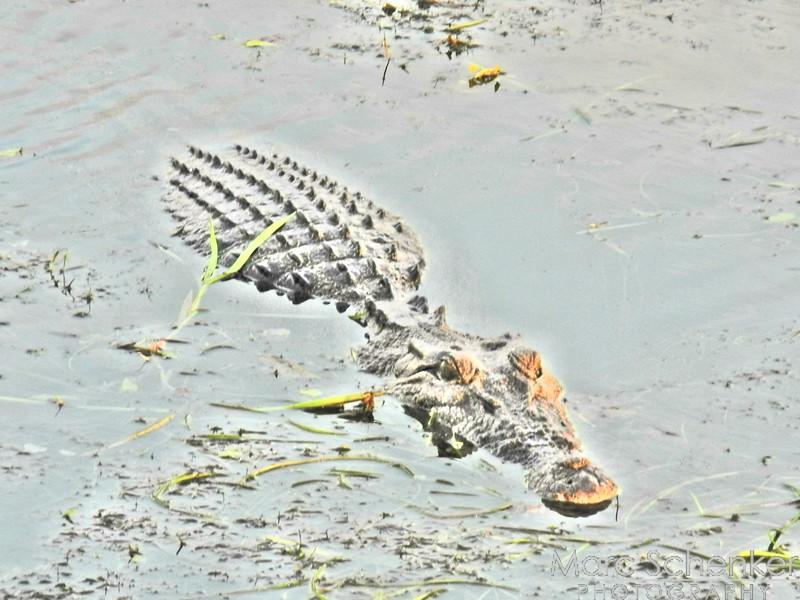 Crocodile, Yellow Waters, Kakadu National Park, Northern Territory