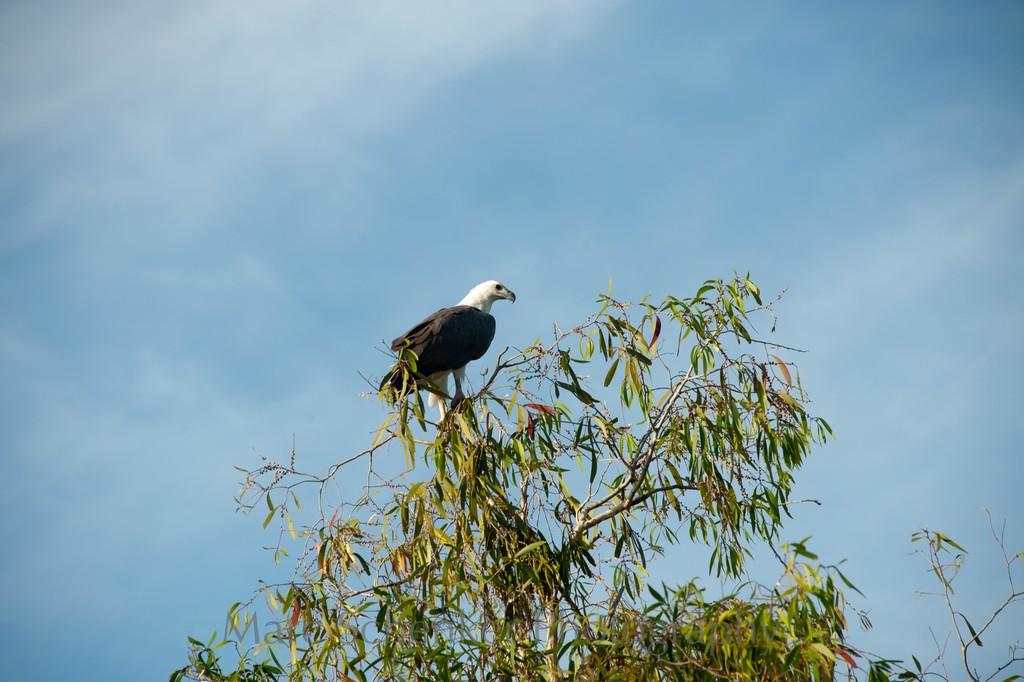 Eagle, Kakadu