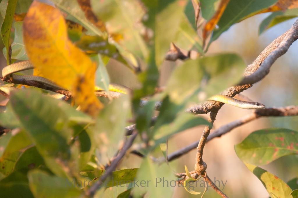 Green tree snake, Kakadu