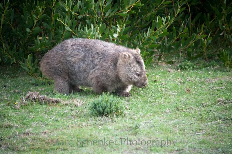 Wombat, Wilson's Promontory, near Melbourne