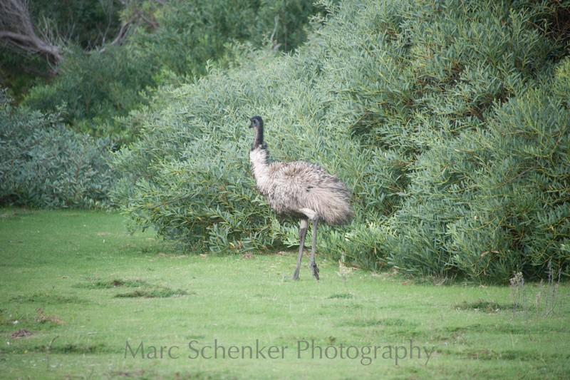 Emu, Wilson's Promontory