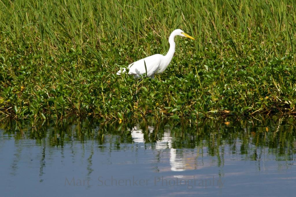 Great Egret, Kakadu