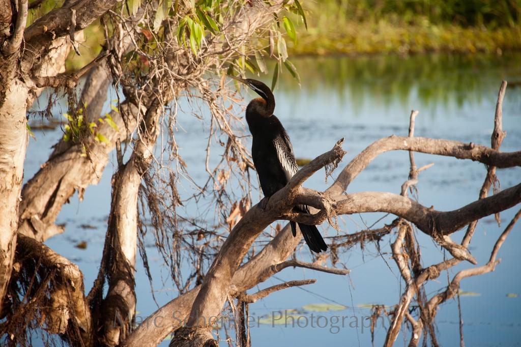 Cormorant, Kakadu