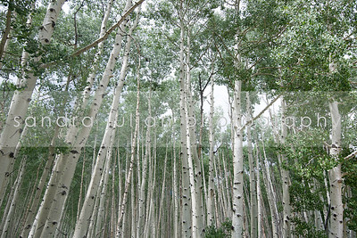 ASPENS WITH GREEN