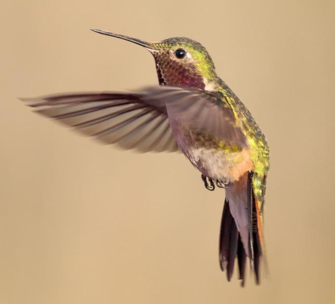 Male Broad Tailed Hummingbird