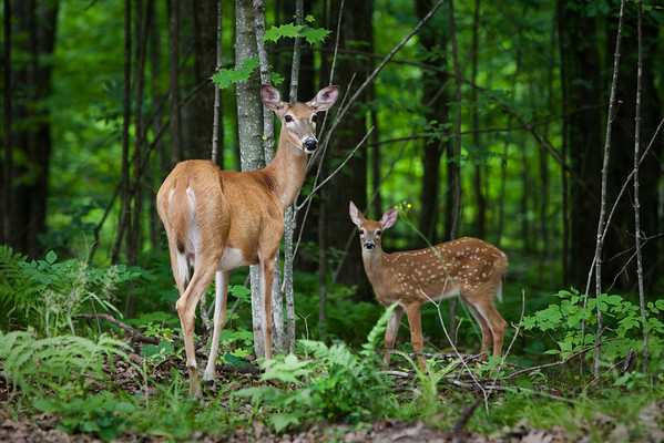 White tailed deer, Copper Falls State Park, Wisconsin