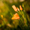 California Poppies in Sun