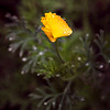 California Poppy in Rain