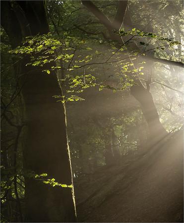 Sunlight Through The Beeches