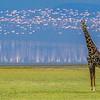 Giraffe and Flamingos,  Lake Maynara, Tanzania