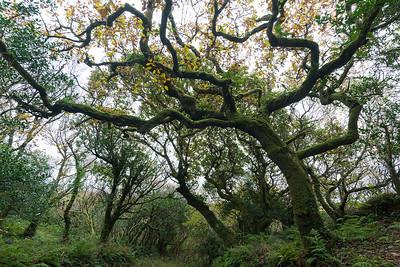 moosbewachsene Eichen, mossy oak trees, Pulleen Harbour