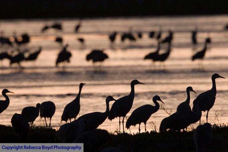 Sandhill cranes on the Platte River in Nebraska.